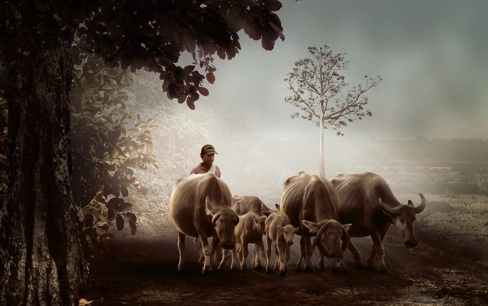 Shepherd driving cattle (Credit: pixabay/Herriest)